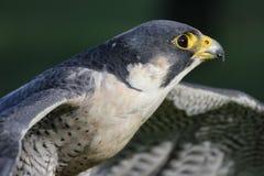 Lanner falcon. (Falco biarmicus feldeggi) also called Feldegg's Falcon Stock Photography