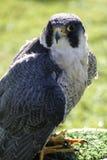 Lanner falcon. (Falco biarmicus feldeggi) also called Feldegg's Falcon Royalty Free Stock Photos
