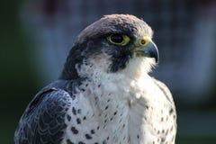 Lanner falcon. (Falco biarmicus feldeggi) also called Feldegg's Falcon Royalty Free Stock Image
