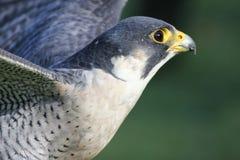 Lanner falcon. (Falco biarmicus feldeggi) also called Feldegg's Falcon Royalty Free Stock Photography