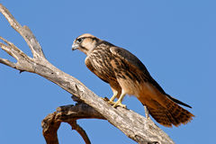 Free Lanner Falcon Royalty Free Stock Photos - 5394528