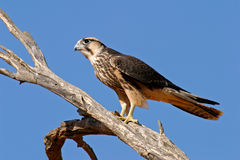 Lanner falcon Stock Images