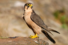 Free Lanner Falcon Stock Images - 875164