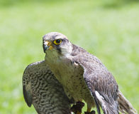 Lanner falcon bird of prey Stock Image