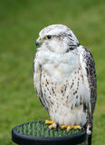 Lanner Falcon Royalty Free Stock Image