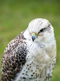 Lanner Falcon Royalty Free Stock Photos