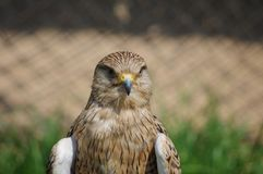 Lanner Falcon close-up portrait in Kwa-Zulu Natal, South Africa royalty free stock photography