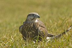 Lanner falcon (falco biarmicus). A young lanner falcon has caught his prey Stock Photography