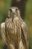 Lanner falcon (falco biarmicus) stock photo