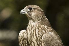 Lanner falcon (falco biarmicus). Close up of a lanner falcon, popular for hunting in Middle East Royalty Free Stock Photography