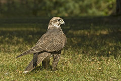 Lanner falcon (falco biarmicus). Lanner falcon, popular for hunting in the Middle East Royalty Free Stock Photo