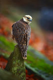 Lanner Falcon, Falco biarmicus, bird of prey sitting on the stone, orange habitat in the autumn forest, rare animal, France Stock Photos