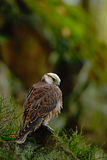 Lanner Falcon, Falco biarmicus, bird of prey sitting on the stone, orange habitat in the autumn forest, rare animal, France Stock Photos