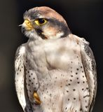 Lanner Falcon Falco biarmicus stock images