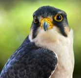 The lanner falcon (Falco biarmicus) Royalty Free Stock Photo