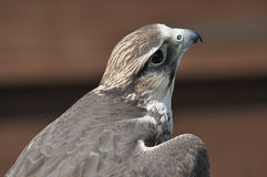 Lanner Falcon Royalty Free Stock Photo