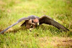 Lanner Falcon, Falco biarmicus, on the floor holding on to prey royalty free stock image