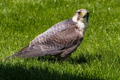 The lanner falcon, Falco biarmicus in a german nature park royalty free stock photos