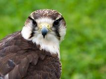 Lanner falcon. Falco biarmicus. Stock Photo