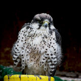 Lanner falcon (Falco biarmicus) Stock Photo