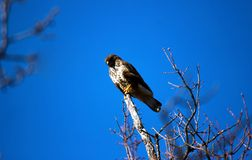 Lanner mountain falcon Falco biarmicus. The lanner falcon Falco biarmicus is a medium-sized bird of prey that breeds in Africa, southeast Europe and just into stock photos