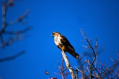 Lanner mountain falcon Falco biarmicus. The lanner falcon Falco biarmicus is a medium-sized bird of prey that breeds in Africa, southeast Europe and just into royalty free stock photography