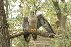 Lanner falcon (Falco biarmicus) Stock Photography