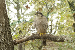 Lanner falcon (Falco biarmicus) Royalty Free Stock Photos