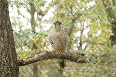 Lanner falcon (Falco biarmicus) Royalty Free Stock Image
