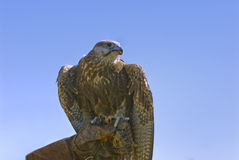 Lanner falcon on falconer's glove. Lanner falcon popular for hunting in the Middle East (falco biarmicus Royalty Free Stock Photography