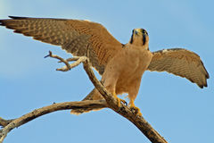 Lanner Falcon Female Royalty Free Stock Photos
