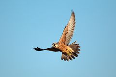 Lanner falcon in flight. Lanner falcon (Falco biarmicus) in flight against a blue sky, South Africa stock image