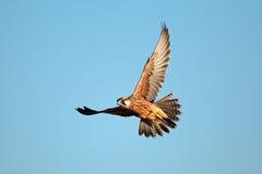 Lanner falcon in flight stock image