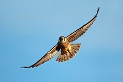 Lanner falcon in flight Royalty Free Stock Image