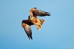 Lanner falcon in flight stock photos
