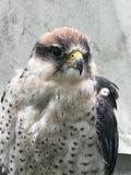 Lanner falcon has his beady eye on you royalty free stock photography