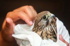 Lanner falcon in human hands Stock Images