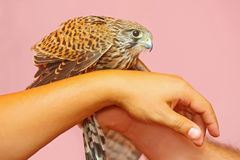 Lanner falcon on human hands Royalty Free Stock Photo