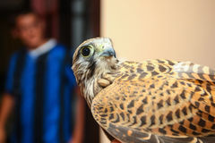 Lanner falcon indoors Royalty Free Stock Photo