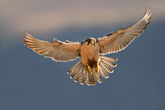 Lanner falcon landing Royalty Free Stock Photography