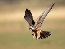 Lanner falcon landing stock photo