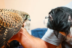 Lanner falcon and pekingese dog Stock Photography