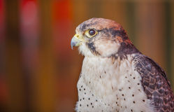 Lanner falcon perched Stock Photography