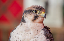 Lanner falcon perched Stock Photos