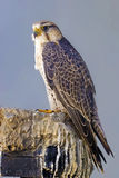 Lanner Falcon perched on a rock Royalty Free Stock Images