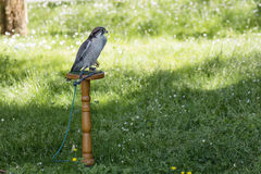 Lanner falcon perched on trespole Stock Images