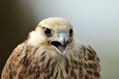 Lanner Falcon portrait Stock Image