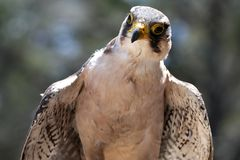Lanner Falcon Raptor Bird Stock Photography