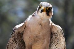 Lanner Falcon Raptor Bird stock photography