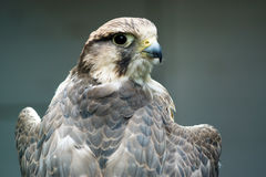 A Lanner Falcon resting Royalty Free Stock Images